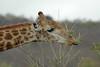 Giraffe (12)
