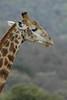 Giraffe (24)