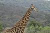 Giraffe (26)