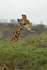 Giraffe (17)