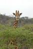 Giraffe (19)