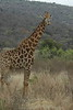 Giraffe (23)