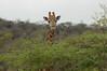 Giraffe (20)