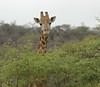 Giraffe (21)