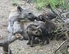 HyenaDen (2)