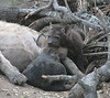 Hyenaden01 (6)