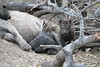 HyenaPup0