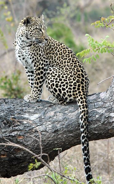 Leopard01 (13)