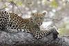 Leopard01 (1)