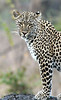 Leopard01 (17)