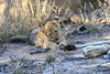 Lion_Cubs_South_Africa_2008_0121