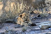 Lion_Cubs_South_Africa_2008_0124