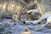 Lion_Cubs_South_Africa_2008_0108