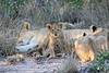 Lion_Cubs_South_Africa_2008_0111