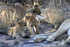 Lion_Cubs_South_Africa_2008_0127