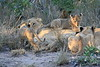 Lion_Cubs_South_Africa_2008_0114