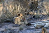 Lion_Cubs_South_Africa_2008_0118