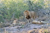Lion_Cubs_South_Africa_2008_0110