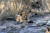 Lion_Cubs_South_Africa_2008_0119