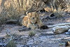 Lion_Cubs_South_Africa_2008_0125