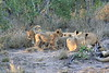 Lion_Cubs_South_Africa_2008_0112