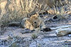 Lion_Cubs_South_Africa_2008_0120