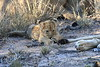 Lion_Cubs_South_Africa_2008_0126