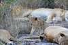 Lion_Cubs_South_Africa_2008_0109