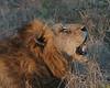 Lion (87)