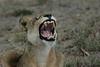 Lion (14)