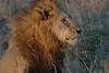 Lion (88)