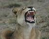 Lion (21)