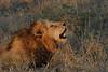 Lion (77)