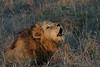 Lion (80)