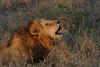 Lion (78)