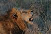 Lion (86)