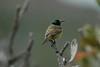 Collared Sunbird1