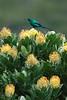 MalachiteSunbird2