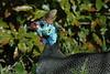 Helmeted Guinea_Fowl_2004_0002