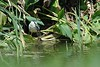 BlackCrowned Night Heron3