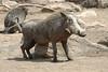 Warthog (14)