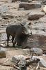 Warthog (17)