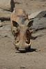 Warthog (39)