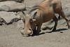 Warthog (36)