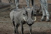 Warthog (57)