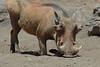 Warthog (25)