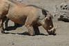 Warthog (38)