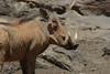 Warthog (27)