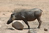 Warthog (22)