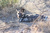 Wild_Dogs_South_Africa_2008_0040